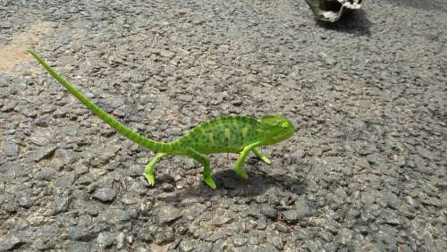Chameleon Lizard Green Animal Reptile Nature