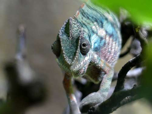 Chameleon Zoo Nature Reptile Animal Animal World