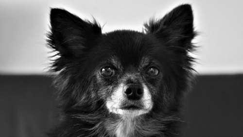Chihuahua Dog Small Cute Black White Pet Fur