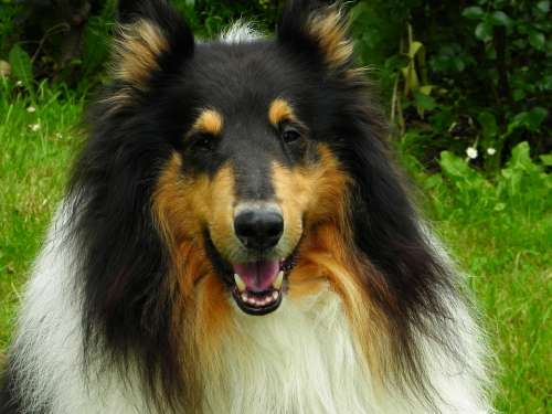 Collie Dog Animal Pet Purebred Dog Herding Dog