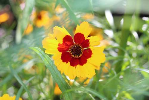 Coreopsis Flower Blossom Yellow Garden Nature