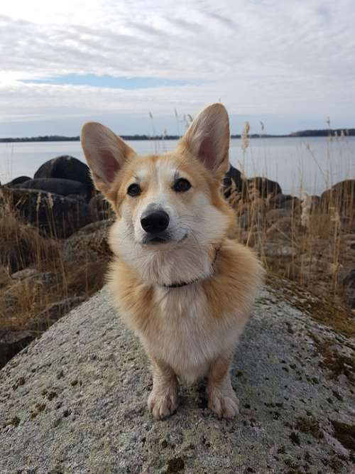 Corgi Dog Cute Beautiful Lake Stone Dog-Eared