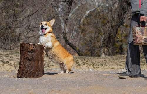 Corgi Dog Stump Log Friendship Pet Animal Cute
