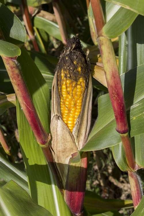 Corn Maize Agriculture Food Cornfield Crop