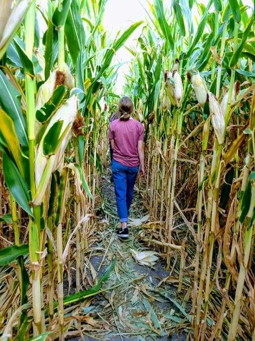 Corn Maze Corn Harvest Maze Cornfield Stalk Fall