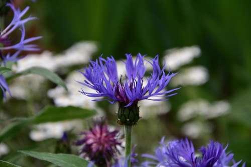 Cornflower Blue Spring Flowers Garden Perennial