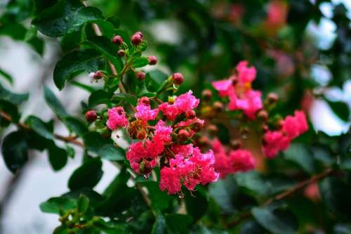 Crape Myrtle Flower Beautiful Natural Landscape