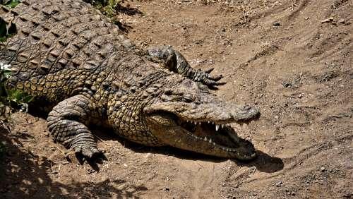 Crocodile Reptile Alligator Animal Predator Nature