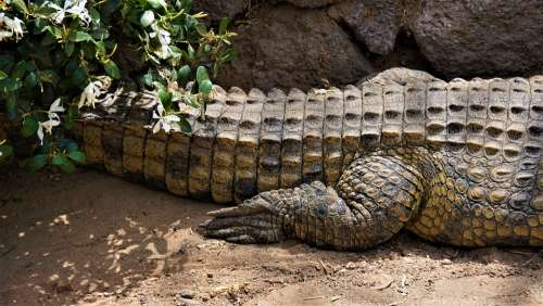 Crocodile Alligator Reptile Hind Leg Scale Tail