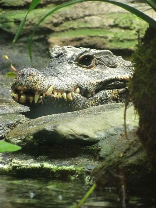 Crocodile Water Predator Predator Close Up