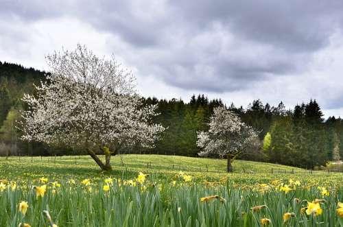 Daffodils Cherry Tree Flower Scenic Vosges