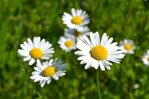 Daisies White Bloom Summer Meadow Flower Meadow