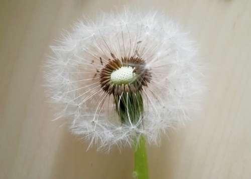 Dandelion Seeds Baldness Furry