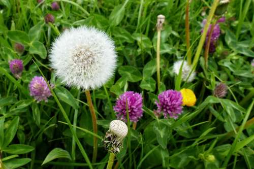 Dandelion Clover White Purple Berm Wild Plants