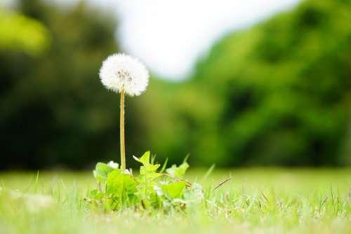 Dandelion Soft Softness Natural Plant Fluffy