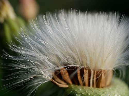 Dandelion Plant Nature Seeds