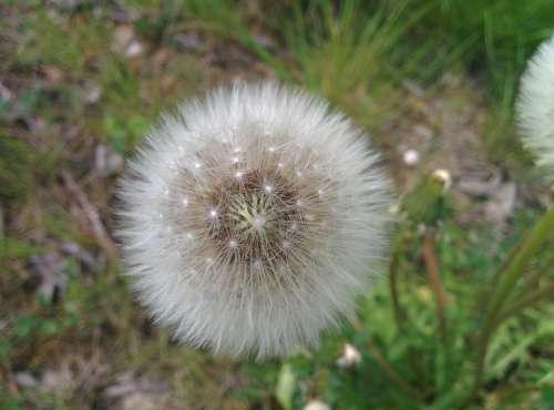 Dandelion Field Nature Natural Seasonal Landscape