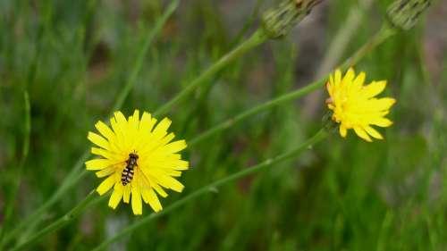 Dandelion Fly Meadow Flower Blossom Bloom