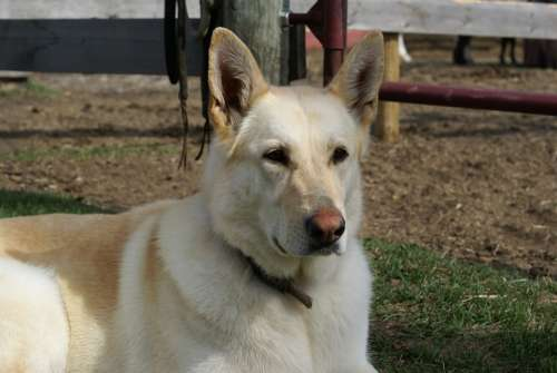 Dog Sheppard Pet Animal Purebred Furry