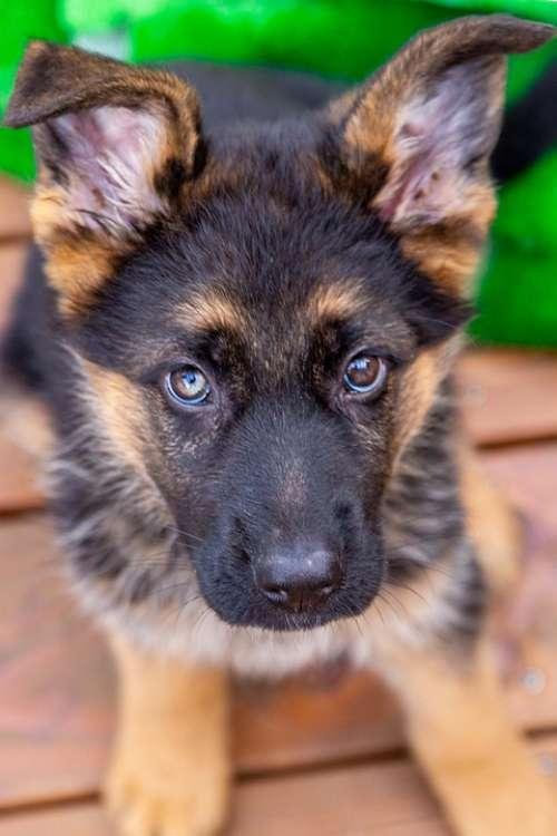 Dog Puppy Pet Animal Animal Portrait Face Sweet