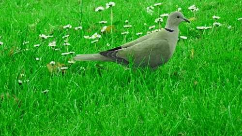 Dove Bird Green Nature Animal Grass Plants