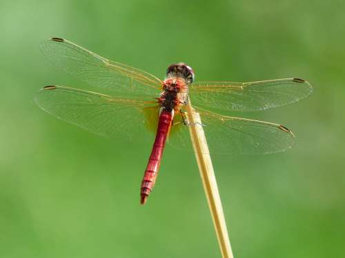 Dragonfly Red Animal Insect Flight Insect