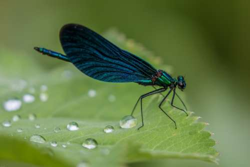 Dragonfly Demoiselle Blue Dragonfly Close Up
