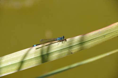 Dragonfly Animal Insects Wings Blue Insect Spring