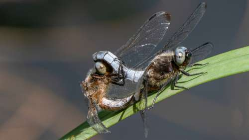 Dragonfly Insect Macro Coupling Odonata