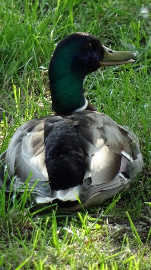 Duck Bird Lake Nature Fauna The Creation Of
