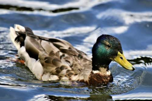 Duck Mallard Pond Plumage Nature Bird Swim