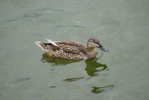 Duck Water Animal