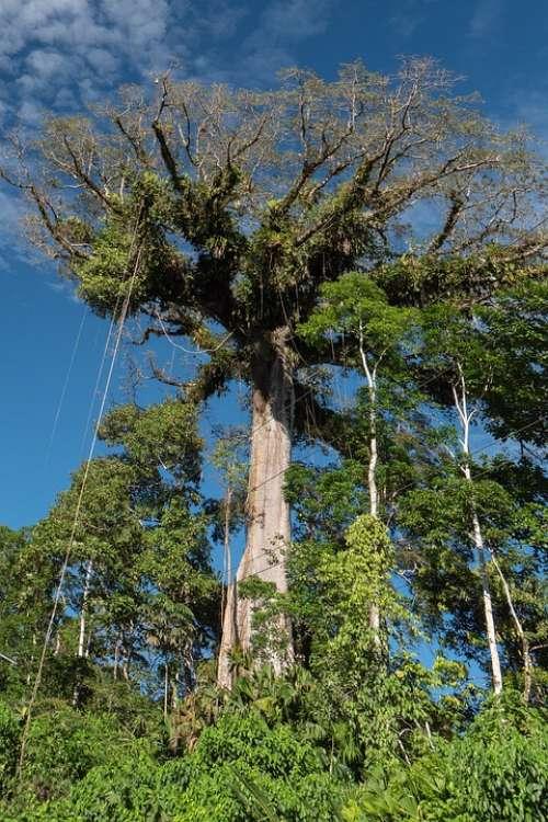 Ecuador Rainforest Jungle Giant Tropical Tree