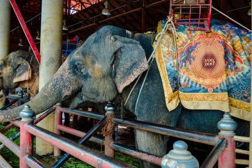 Elephants Elephant Cambodia Mammal Animals