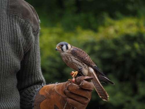 Falcon Bird Raptor Nature Animal World