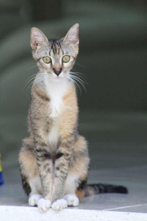 Feline Kitten Hairy Pet Animals Cute Kitty