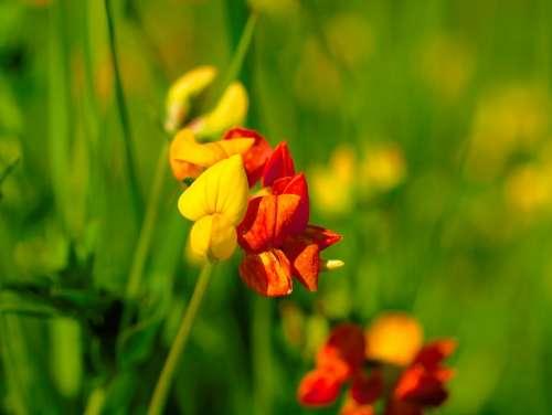Fenugreek Biodiversity Pointed Flower Yellow Red