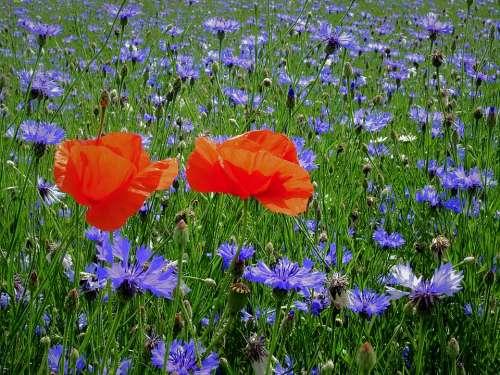 Field Poppies Cornflowers Figure Flowers Landscape