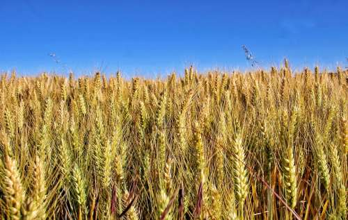 Field Sun Earth Agriculture Cereals Harvest