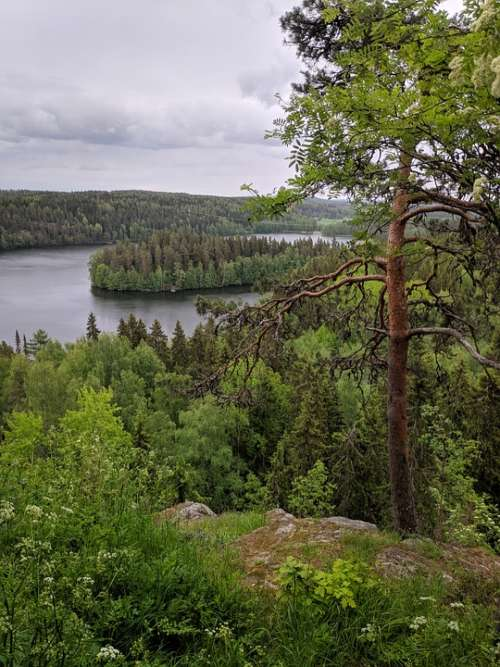 Finland Pine Tree Lake Forest Water Nature