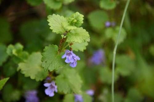 Flower Spring Mint Purple