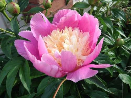 Flower Peony Pink Blossom Spring Nature Garden
