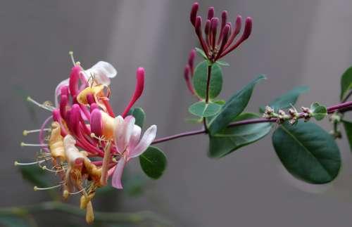 Flower Honeysuckle Perfume Climber Garden Nature