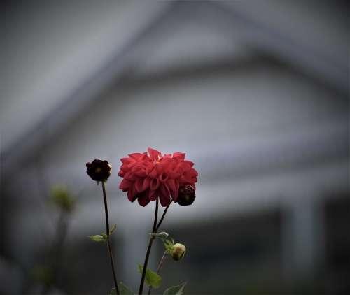 Flower Red Plant Blur