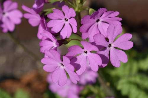 Flower Inflorescence Summer Garden Nature Flowers