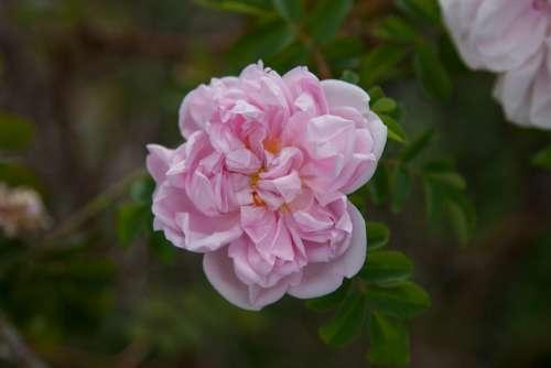 Flower Rose Blossom Bloom Nature Rose Bloom Pink