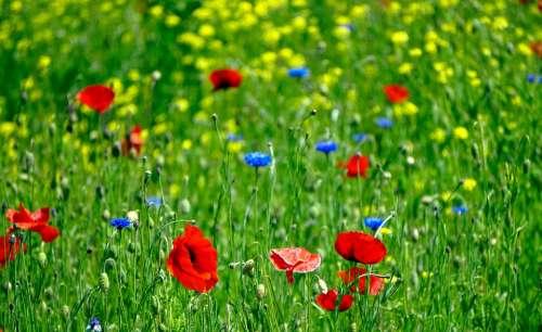 Flower Meadow Poppy Cornflowers Blossom Bloom