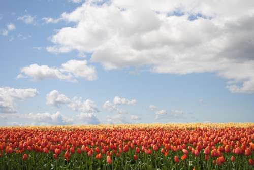 Flowers Tulip Field Bloom Spring Garden Blossom