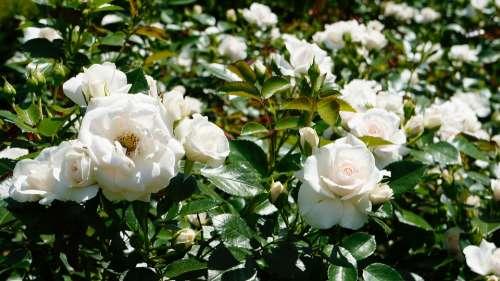 Flowers Rose Nature White