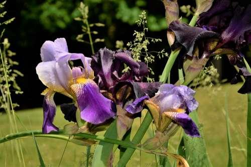 Flowers Iris Flowers Black Violet White Group